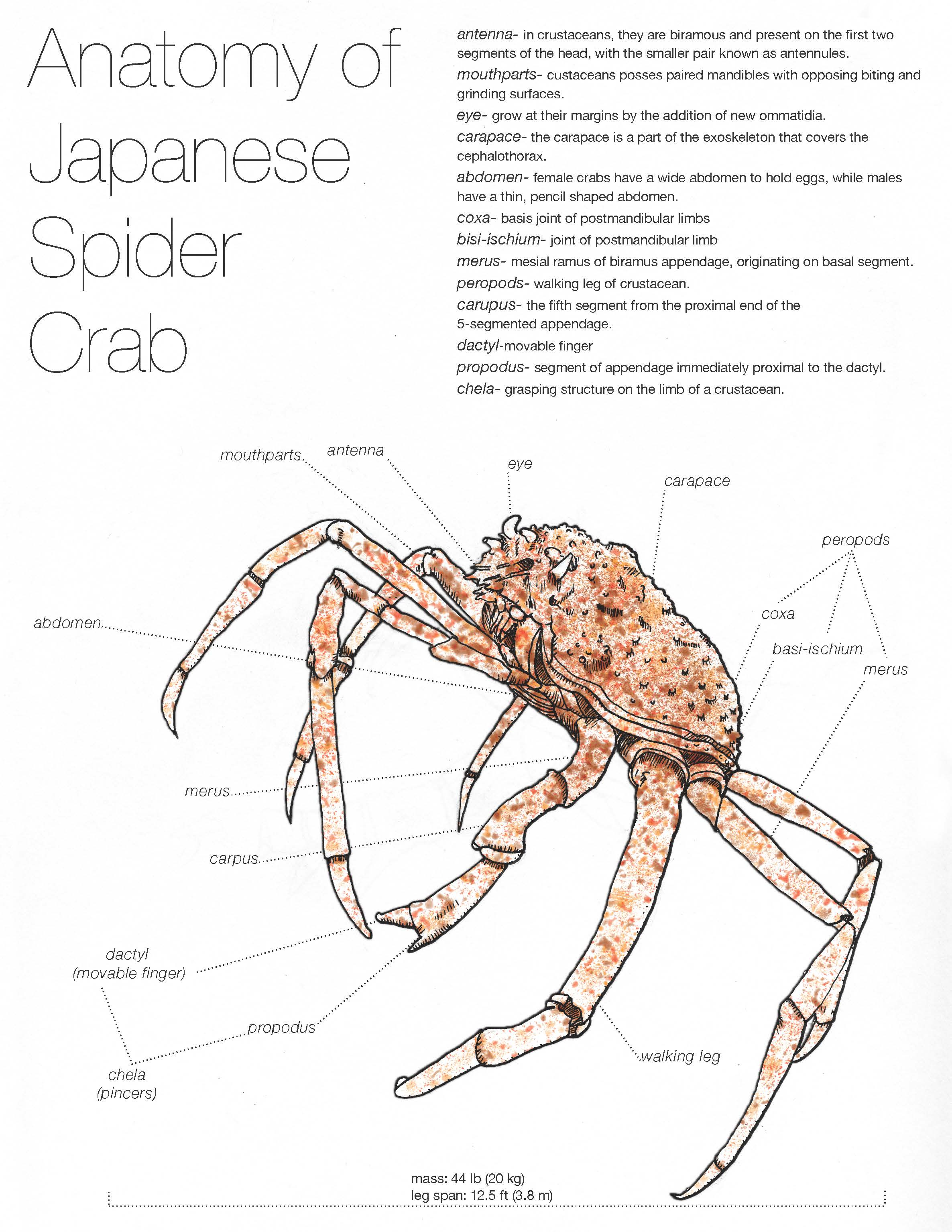 Anatomy of the Japanese Spider CrabCrab Diagram
