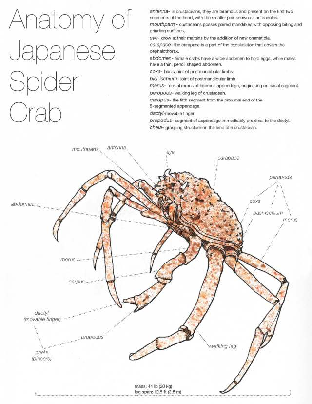 The Anatomy Of The Japanese Spider Crab Anastacia Valles
